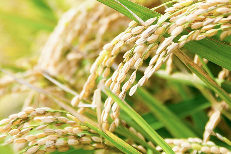 米栽培からこだわっています