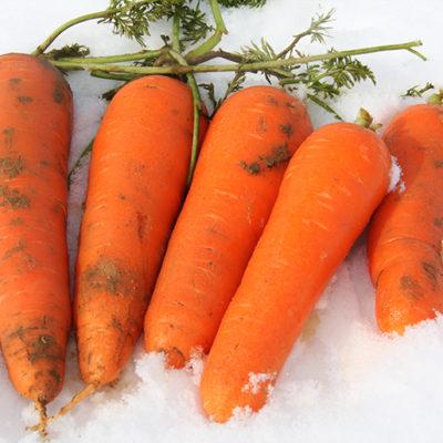 雪下にんじんが美味しい秘密は必須アミノ酸