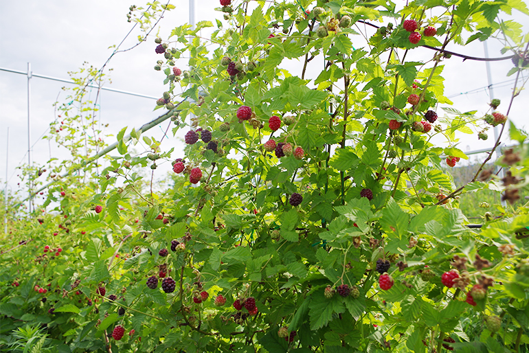 栽培のポイントはとても長い日照時間