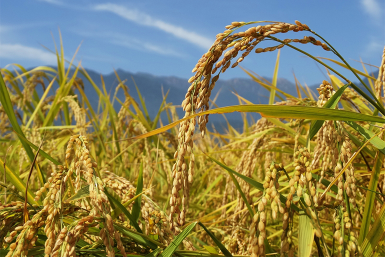 農薬・化学肥料を減らして栽培したコシヒカリ