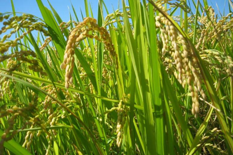 特別栽培米コシヒカリに古代米をブレンド