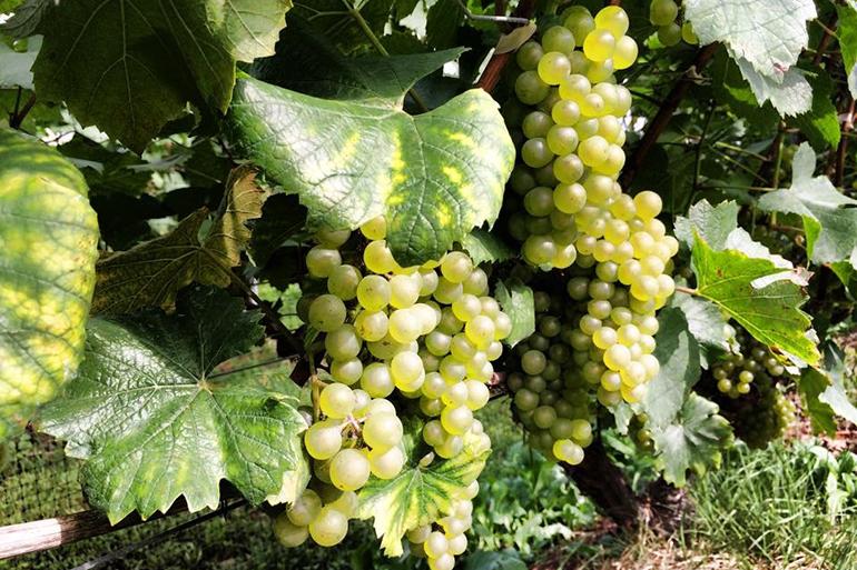 寒暖差が糖度の高い葡萄を生み出す