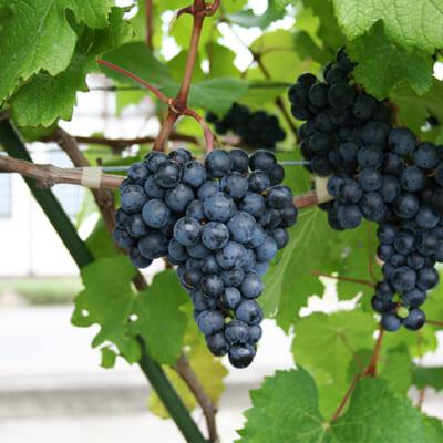 自社栽培の葡萄を100%使用し、じっくりと熟成!