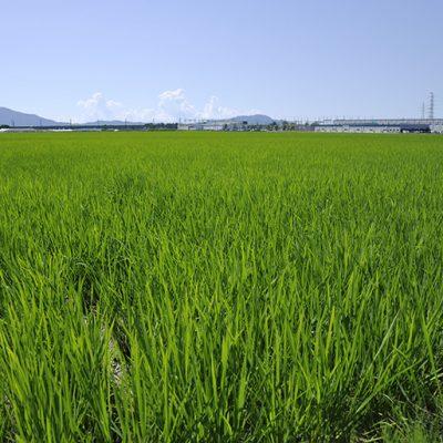30年度米 新潟産 越後金四郎コシヒカリ(特別栽培米)