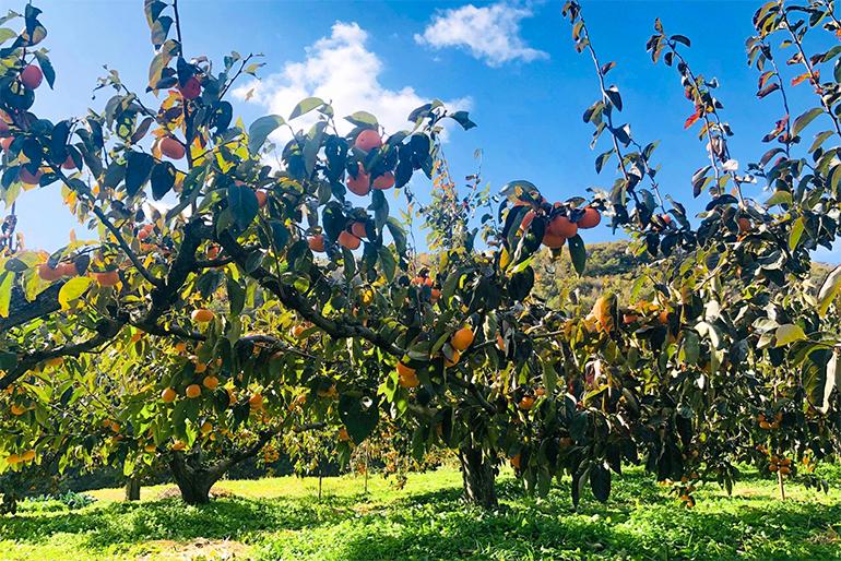 美味しい柿が育つ為に重要な「木」