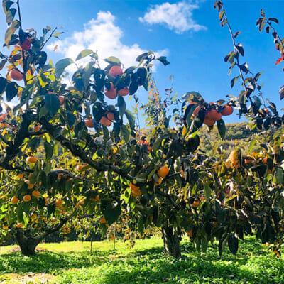 有機肥料で栽培した元気な柿の木