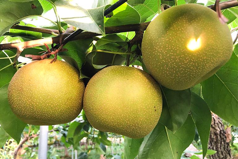 濃厚な味わいの高品質な和梨