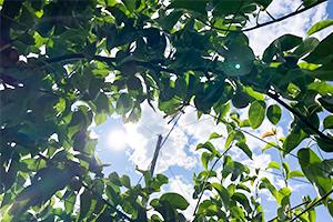 3.梨を美味しくさせる葉を光合成させる