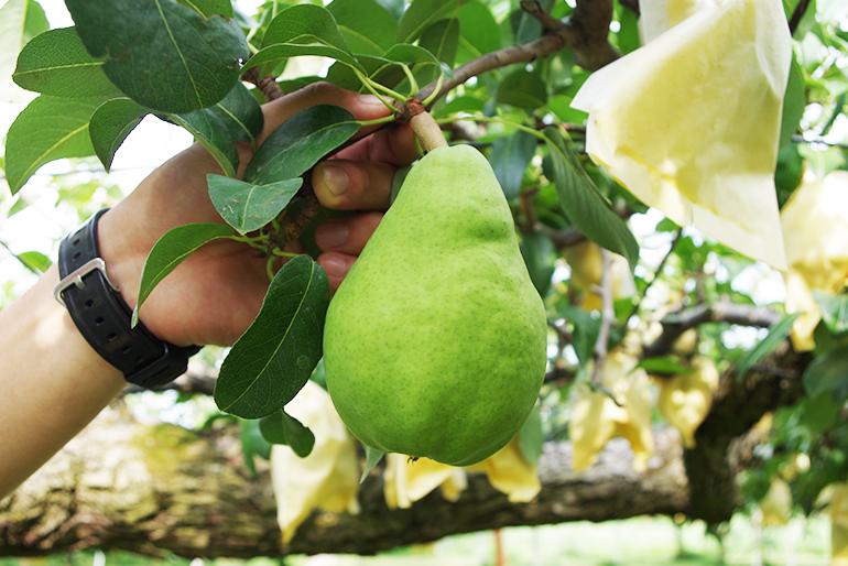 魅惑的な甘味・香りが絶品の洋梨ル・レクチェ