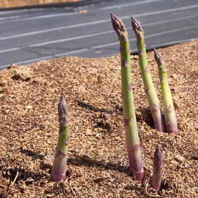 グリーンアスパラガス栽培中