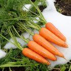 予約注文:魚沼産 雪下にんじん・雪熟成にんじん