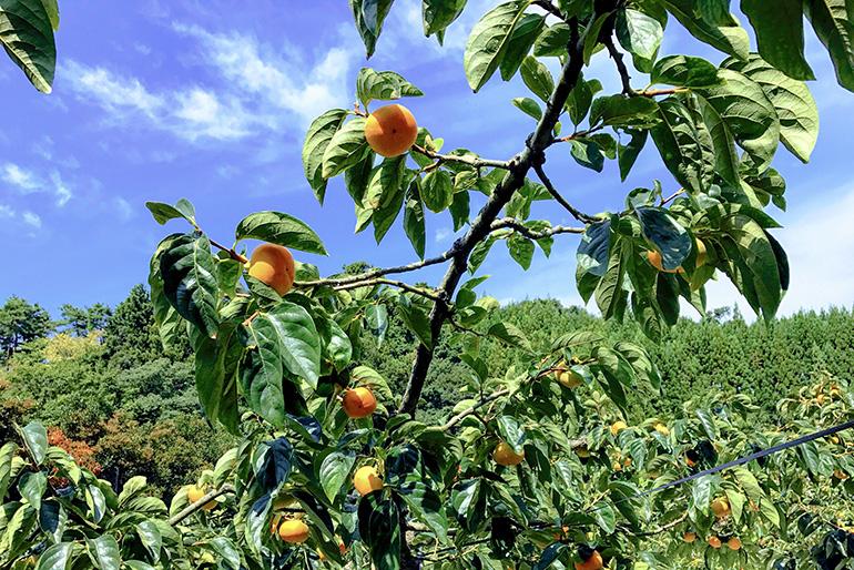 温かな気候が果樹栽培に最適な佐渡島