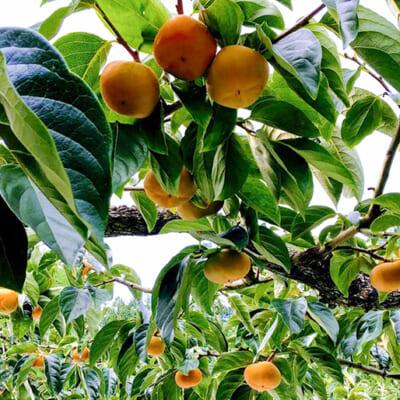 味の良い果実のみを収穫する少量高品質栽培
