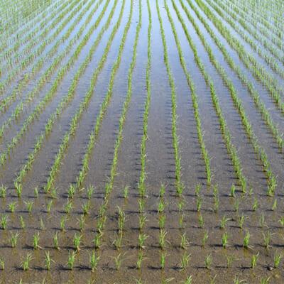 加茂市のきのこ農家が育てたコシヒカリ