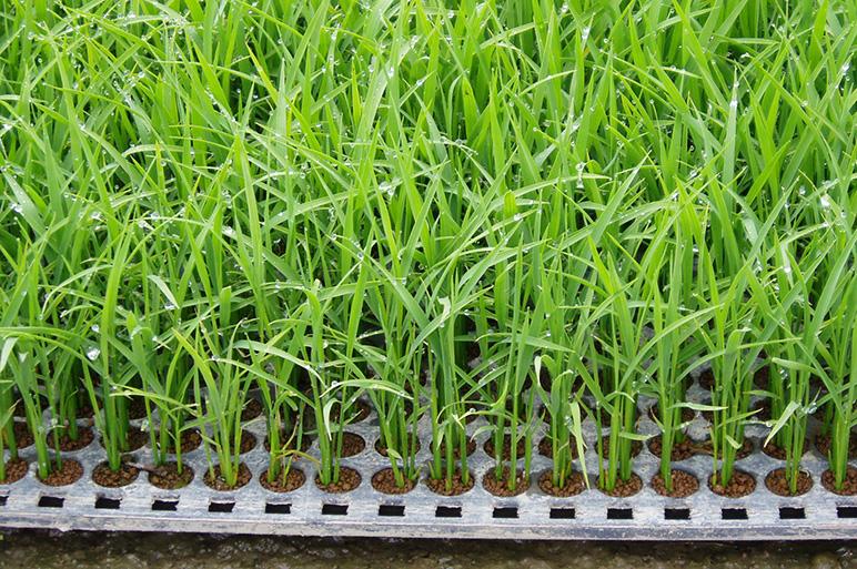 苗本来の力を引き出す「ポット苗」栽培