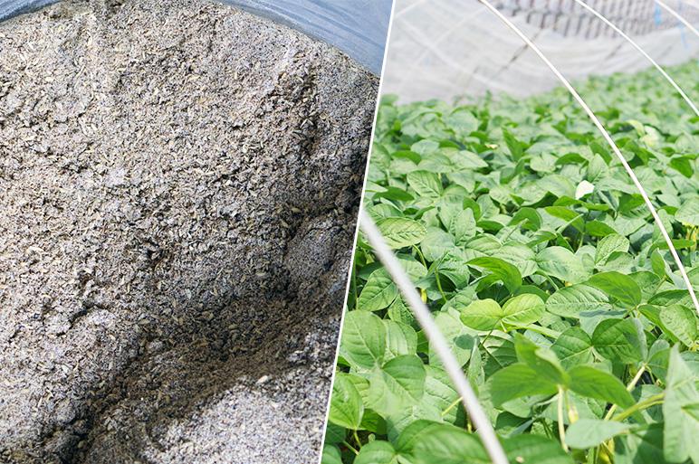独自にブレンドした有機肥料を使い健康な枝豆を育てる