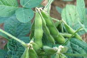1.早生枝豆:7月上旬~7月中旬