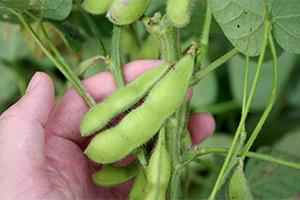 2.中生茶豆:7月中旬~8月中旬
