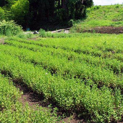 有機肥料を使って自家栽培