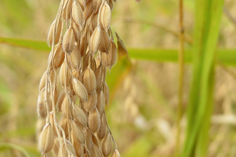 早川地域の寒暖差を生かした米作り