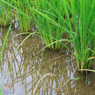 綺麗な湧水を吸って成長する稲