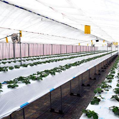 自動制御のビニールハウスで栽培