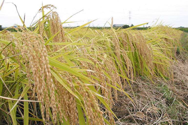 減農薬・減化学肥料!安心安全なお米作り