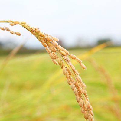 令和元年度米 南魚沼産 コシヒカリ(特別栽培米)