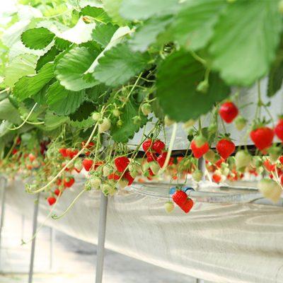 食べごろの苺を産地直送します