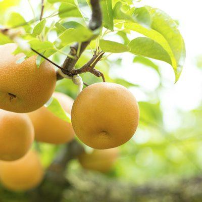 果樹を観察することを大切に梨作りを行う
