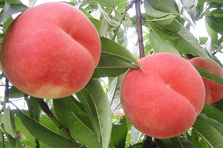 果樹の名産地が育んだ絶品桃