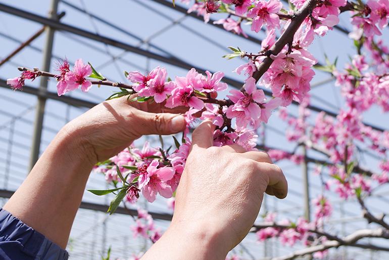 3回の摘み取り作業で最も美味しくなる桃を選別