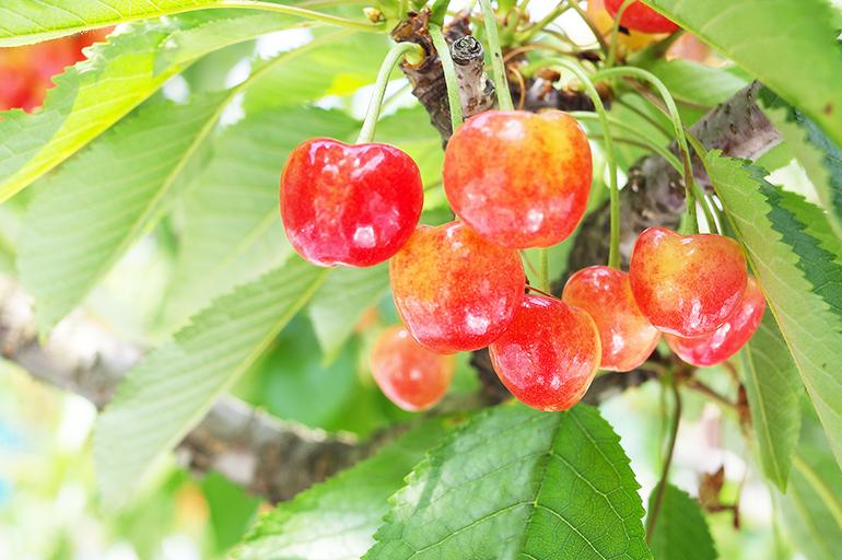繊細な果物さくらんぼ。一粒一粒に愛情込めて