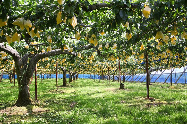 和泉果樹園が栽培する安心・安全の梨