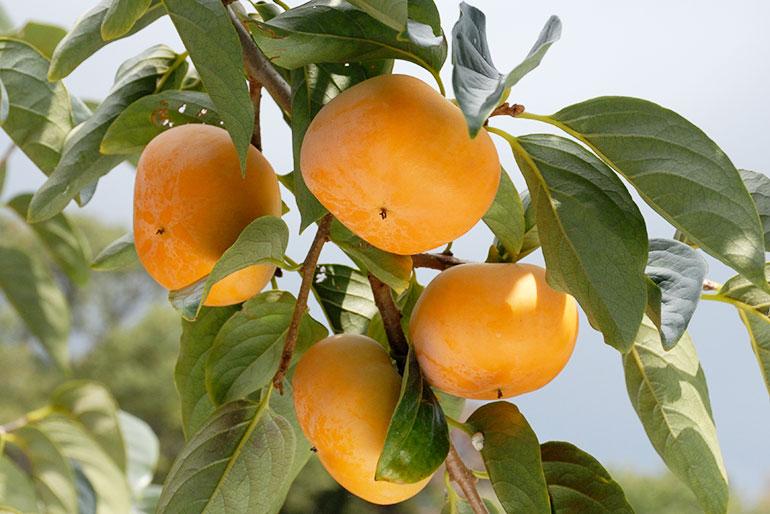 生産者とJA羽茂が90年守り続ける佐渡の「極上の柿」