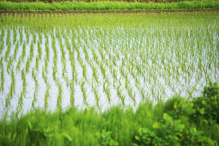 環境に配慮したささかみの米づくり