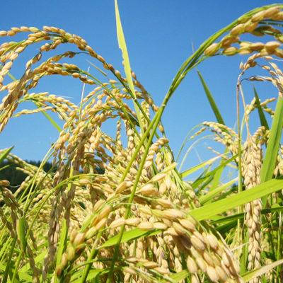 安心して食べられるJAささかみの特別栽培米