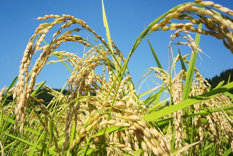 安全性の高い特別栽培米