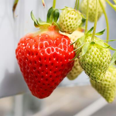 ツヤがあり、みずみずしい高品質の苺を厳選