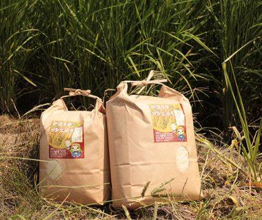 29年度米 新潟産 かおりのコシヒカリ(従来品種)