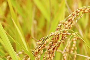 1.上越市産のお米を使用!原料にこだわります
