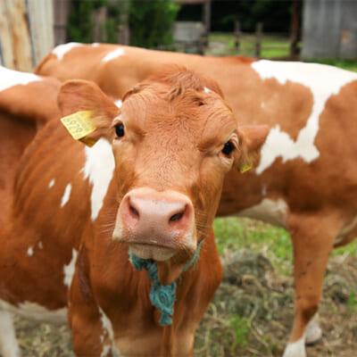 日本ではわずか200頭しか飼育されていない希少なガンジー牛