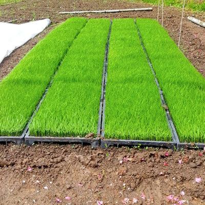 露地育苗で病気に強い稲を育てる