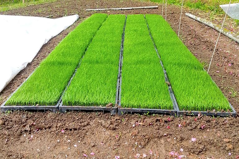 露地育苗で病気に強い稲を育てます