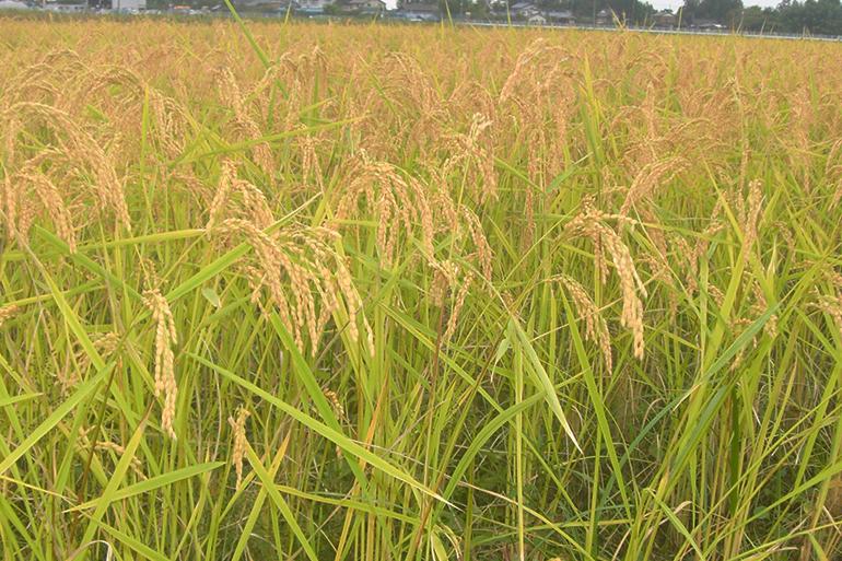 1.原料の米粉は自家製自然栽培米から用意