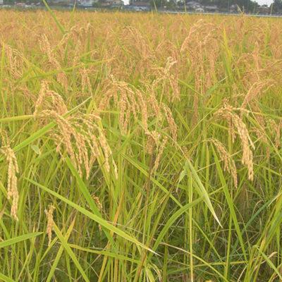 農薬・肥料には頼らない農法で栽培したお米