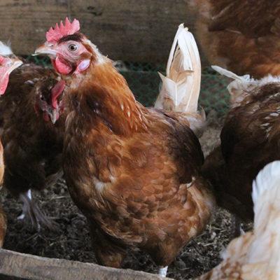 平飼いで鶏の健康をサポート