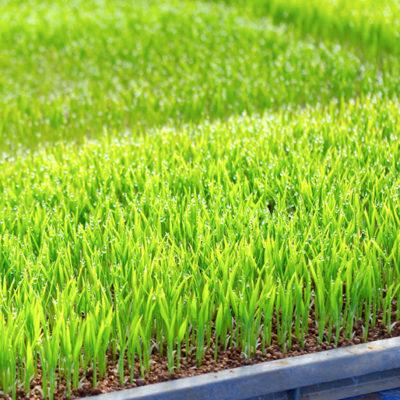 強い稲を育て、甘いお米を収穫します