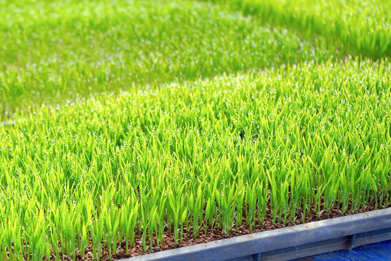 原料となるお米からじっくりと栽培!