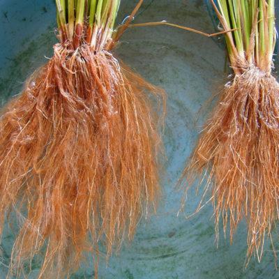 植酸栽培で育った根(左)